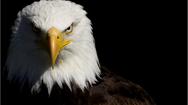 8589130423356-bald-eagle-wallpaper-hd.jpg